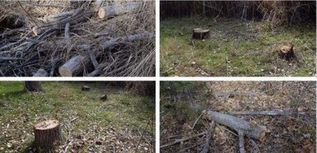 Gökçek: Eymir Gölü'nde Ağaç Katliamı Yapılıyor