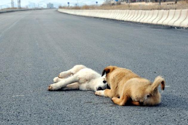 Yaralı Köpeğin Başından Ayrılmadı