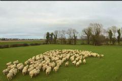 Drone Çoban Oldu, Koyun Sürüsünü Kontrol Etti