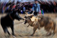 Köpek Dövüşüne Para Cezası