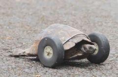 Bacaklarını Kaybeden Kaplumbağaya Protez Bacak Takıldı