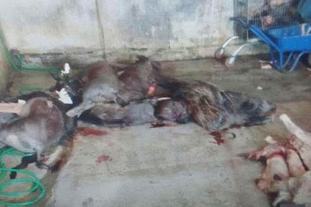 Aydın'da Düzenlenen Operasyonda 5 Ton Kaçak Domuz Eti İmha Edildi