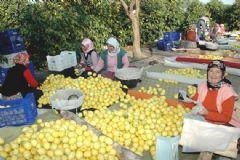 Mersin'de Limonun Fiyatı Yüzde Elli Arttı