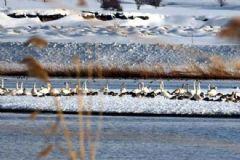 Kuğular Rusya'dan Van Gölü'ne Geldi