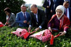 Cumhurbaşkanı Erdoğan Rize'de Çay Biçti