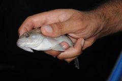 Orfoz, Lagos Balıkları İle İlgili Yasaklar Başladı
